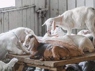 koza-nostra-farm4